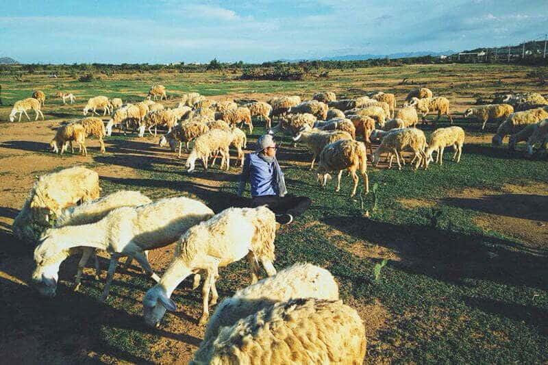 Bạn như lạc vào thế giới bình yên cùng những chú cừu tại đây